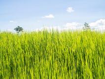 śródpolni ryż zdjęcia royalty free