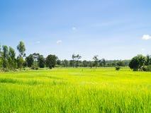 śródpolni ryż obraz stock