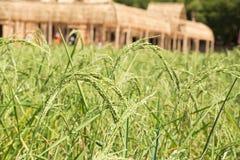 śródpolni ryż Obrazy Stock