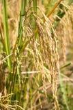 śródpolni ryż Fotografia Royalty Free