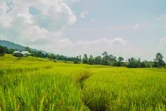 śródpolni ryż Zdjęcie Royalty Free