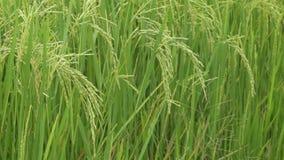 śródpolni ryż zdjęcie wideo