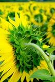 śródpolni słoneczniki Fotografia Royalty Free
