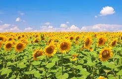 śródpolni słoneczniki Zdjęcie Royalty Free