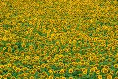 śródpolni słoneczniki Fotografia Stock