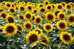 śródpolni słoneczniki Obraz Royalty Free