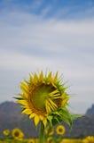 śródpolni słoneczniki Obrazy Stock