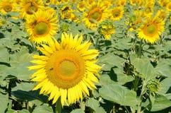 śródpolni słoneczniki zdjęcie stock