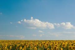 śródpolni słoneczniki Obraz Stock