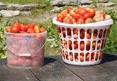 śródpolni właśnie ukradzeni pomidory obraz royalty free