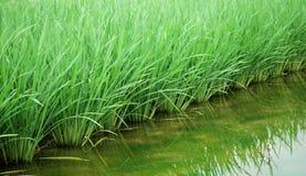 śródpolni zieleni ryż Zdjęcia Stock