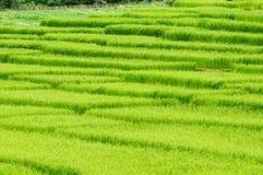 śródpolni zieleni ryż fotografia stock