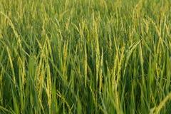 śródpolni zieleni ryż Fotografia Royalty Free