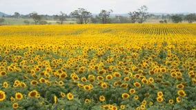 śródpolny Australia słonecznik Queensland Zdjęcia Stock