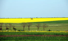 śródpolny canola kolor żółty Fotografia Royalty Free