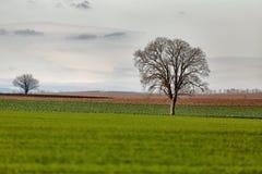 śródpolny drzewo obrazy stock