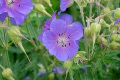 Śródpolny fiołkowy kwiat fotografia stock