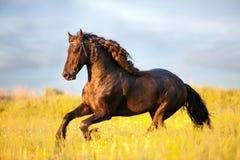 śródpolny friesian cwału koń Fotografia Stock