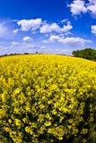 śródpolny gwałta wiosna kolor żółty Zdjęcie Stock