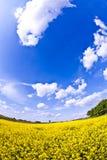 śródpolny gwałta wiosna kolor żółty Fotografia Stock