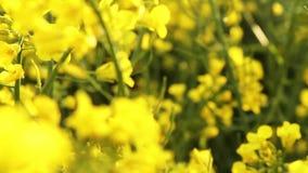 śródpolny gwałta zmierzch Gwałt kwitnie zakończenia przelotne spojrzenie złoty słońce zbiory wideo