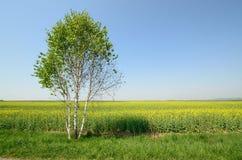 śródpolny krajobrazowy panoramy rapeseed lato kolor żółty Obrazy Stock