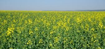 śródpolny krajobrazowy panoramy rapeseed lato kolor żółty Zdjęcia Royalty Free