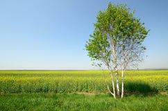 śródpolny krajobrazowy panoramy rapeseed lato kolor żółty Obrazy Royalty Free