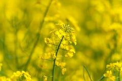 śródpolny krajobrazowy panoramy rapeseed lato kolor żółty Krajobraz głębokość pola płytki Obraz Royalty Free