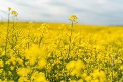 śródpolny krajobrazowy panoramy rapeseed lato kolor żółty Krajobraz Obszar wiejski natura Niebieskie Niebo Wewnątrz Zdjęcia Stock