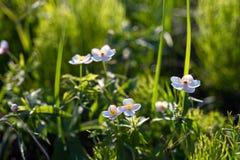 Śródpolny kwiecisty Anemony w trawie Dzicy północni anemony kwitną kwitnienie w wiosny lub lata sezonie w Yakutia, Syberia obraz stock