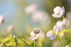Śródpolny kwiecisty Dzicy północni anemony kwitną kwitnienie w wiosny lub lata sezonie w Yakutia, Syberia zdjęcia stock