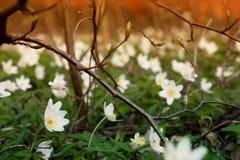 Śródpolny lasowy anemon 1 obraz royalty free