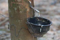 Śródpolny lateks wydobujący od gumowego drzewa Obrazy Royalty Free