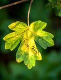 Śródpolny liść klonowy w jesieni Zdjęcia Royalty Free