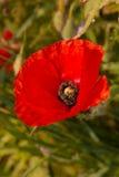 Śródpolny maczek - zakończenie Fotografia Royalty Free