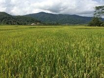 śródpolny północny ryżowy Thailand Zdjęcie Stock