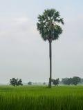 śródpolny palmowy ryż cukieru drzewo Zdjęcia Stock