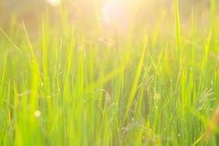 Śródpolny ryżowej trawy fotografii zapas Zdjęcie Royalty Free