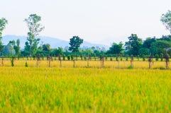 Śródpolny ryżowej trawy fotografii zapas Zdjęcia Royalty Free
