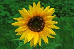 śródpolny słonecznik Obrazy Stock