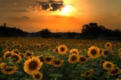śródpolny słonecznik Obraz Stock