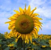 śródpolny słonecznik Fotografia Stock
