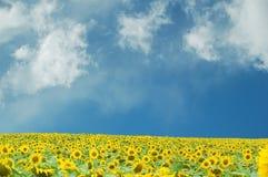 śródpolny słonecznik Zdjęcia Stock