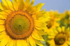śródpolny słonecznik obraz royalty free