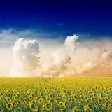 śródpolny słonecznik obrazy royalty free