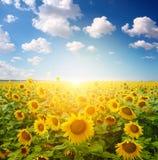 śródpolny słonecznik Zdjęcia Royalty Free