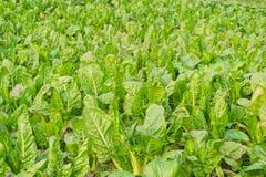 śródpolny warzywo Fotografia Stock
