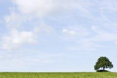 śródpolny zielony mały drzewo Zdjęcia Royalty Free