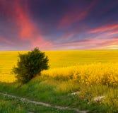 śródpolnych kwiatów krajobrazowy lato kolor żółty Zdjęcia Royalty Free
